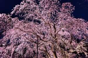 醍醐寺の桜2021の見頃は?ライトアップイベント時間も!