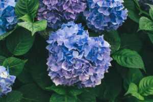 京都府立植物園のあじさいの見頃2021 アクセス・駐車場情報も!